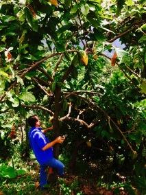 1: Cacao tree