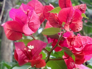 Bougainvillae of Morro